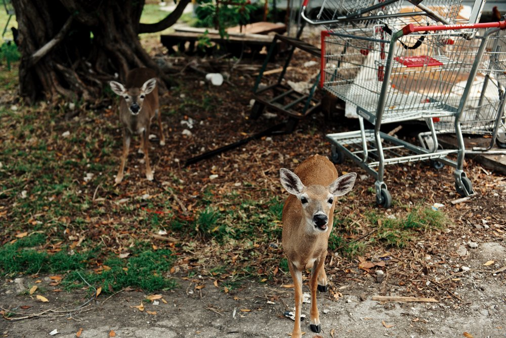 florida keys key deer