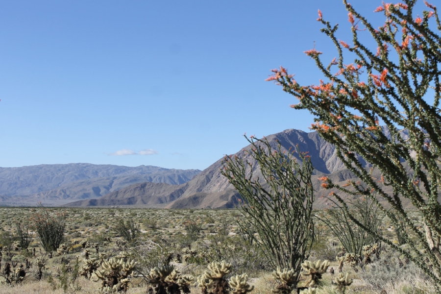 The wind in the desert more often than not comes from the ocean about two hours to the west, so the ocotillo grows facing the east. You can see how the plant (it looks like a cactus, but is not a true cactus) is growing some what sideways.