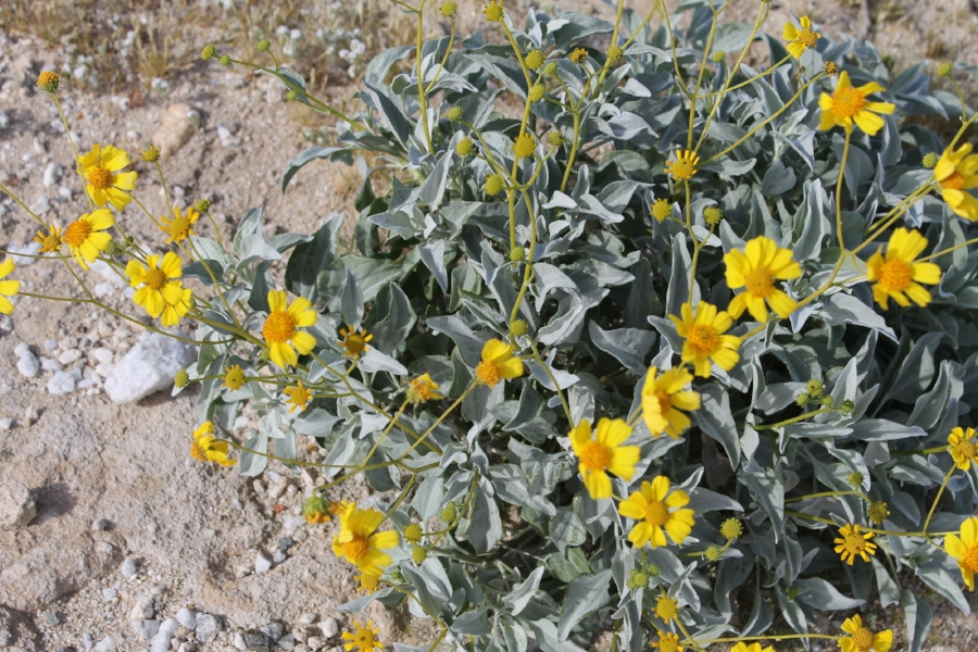 Southern California has some where along the lines of 20 different types of wild sages, I see them all the time hiking near the ocean. I have never actually seen sage bloom before.