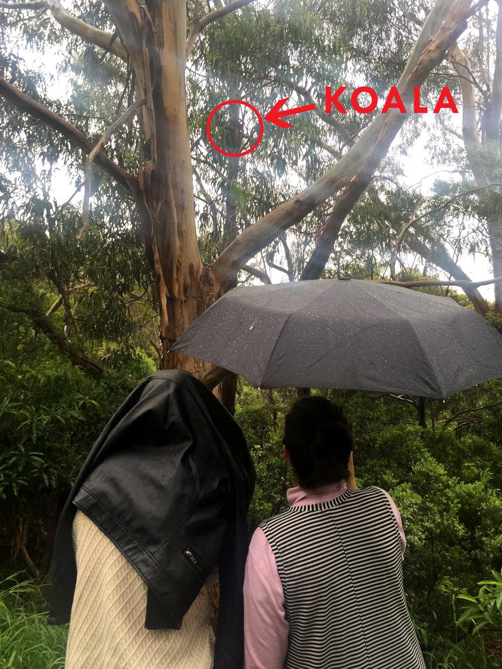 Great Ocean Road - Koala spotting