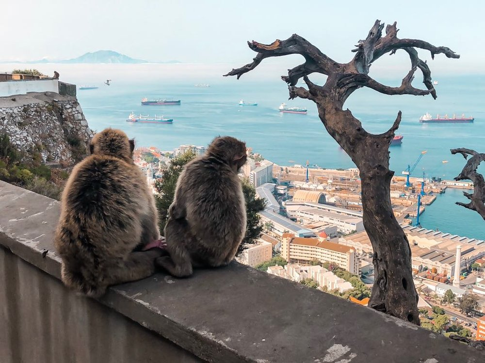 The apes looking out over Gibraltar