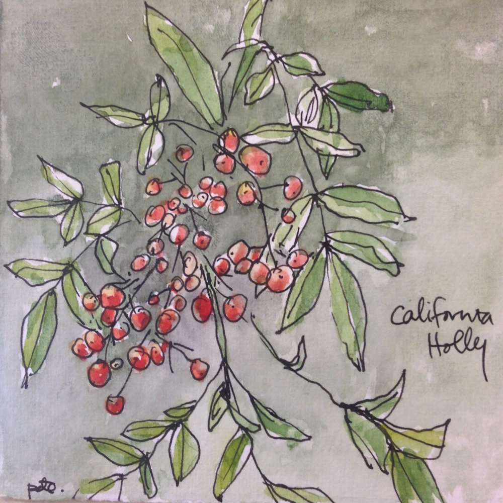CALIFORNIA HOLLY SKETCH