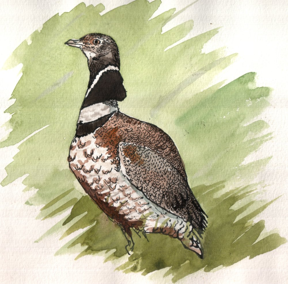 The little bustard breeds in southern Europe, as well as in western and central Asia, and is the subject of an ongoing study about habitat use and movement between habitats. Here, the bird is alert, checking its surroundings.