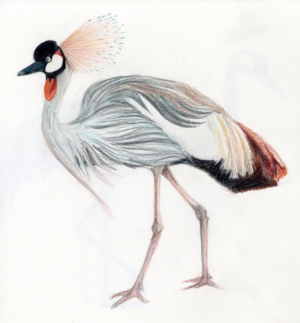 crowned-crane.jpg
