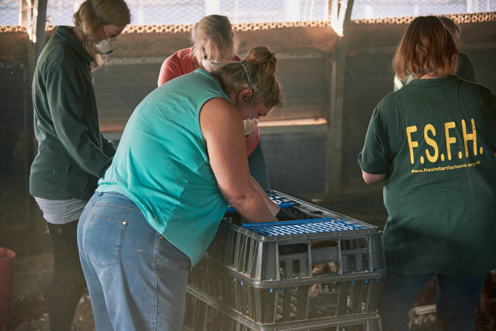 rookery-farm-organic-eggs-FSFH-rehoming18.jpg