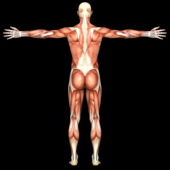 Anatomy back.jpg