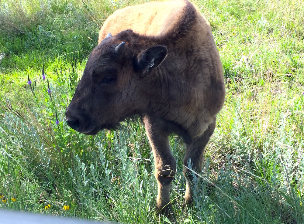 baby-buffalo.jpg