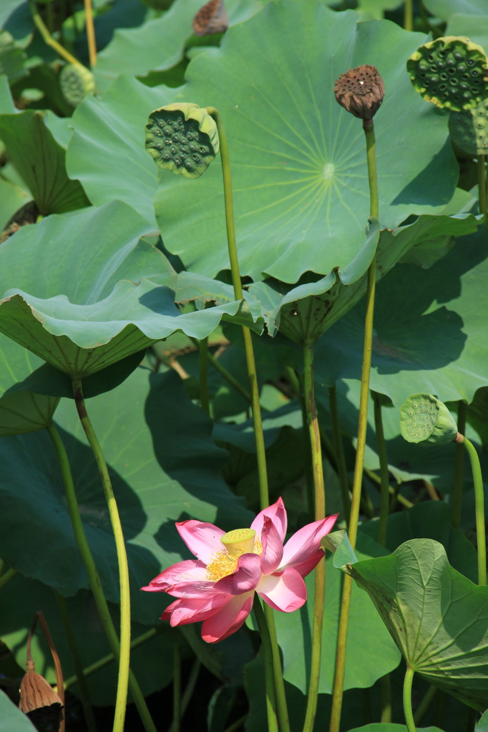 Lotus lily flowers of transcendence avenuex of the lotus flower then you are really missing out on a beautiful thing in this world go find a decent chinese restaurant and ask for it dhlflorist Choice Image