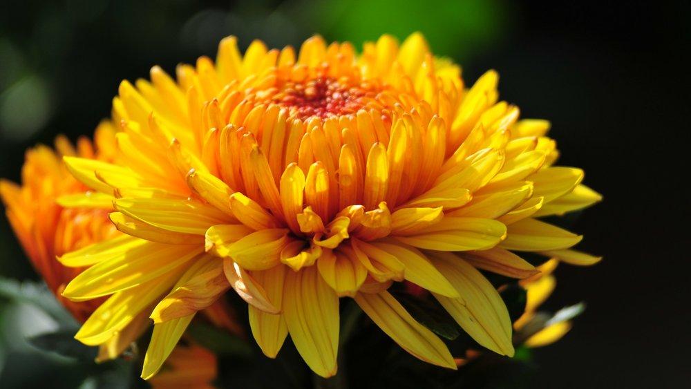 Chrysanthmum Flower (https://s-media-cache-ak0.pinimg.com/originals/d3/4a/36/d34a367fd1015222e1feca1ff47dcdf4.jpg)