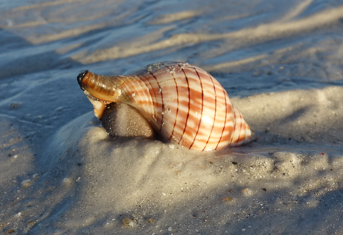 Sanibel shells-tight-6.jpg