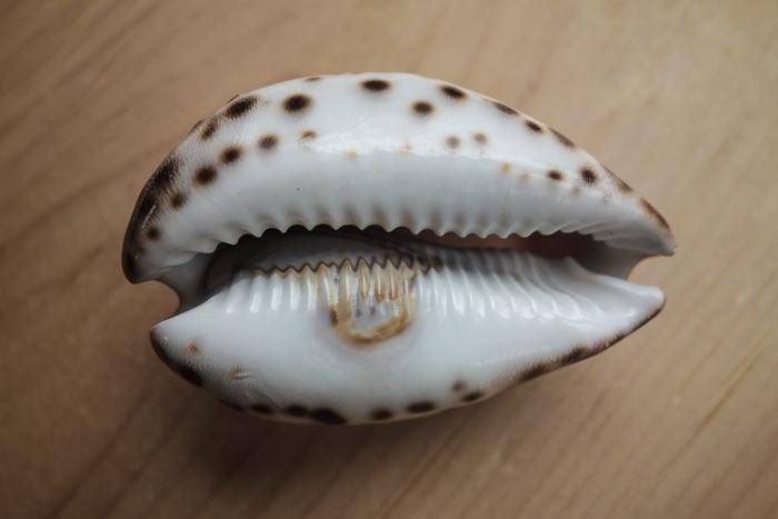 IaA-Antique Shells-5.jpg