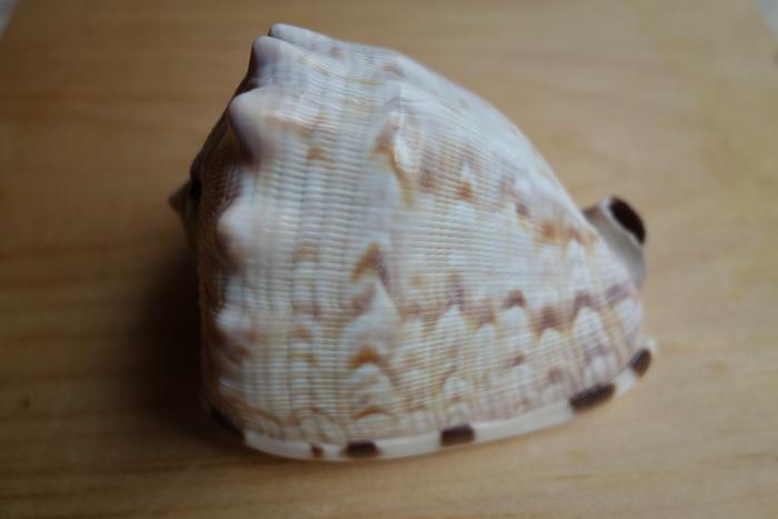 IaA-Antique Shells-3.jpg
