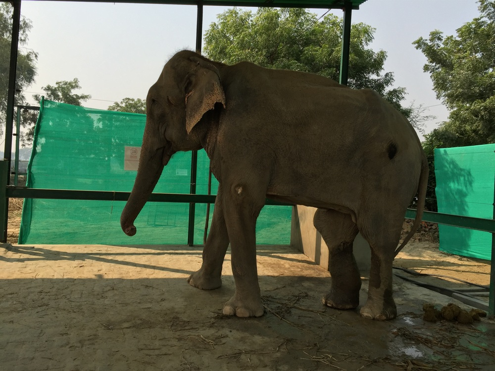 Raju's deformed right hind knee which makes walking extremely painful..