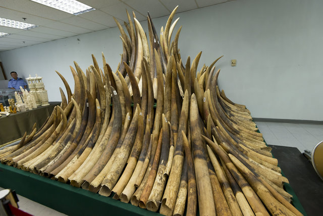 A stockpile of seized ivory (Brett NG / HSI)
