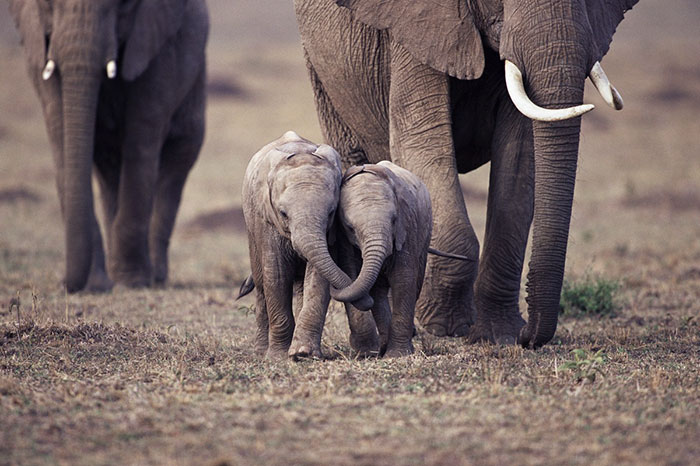 cute-baby-elephants-50-5902071911e92__700.jpg