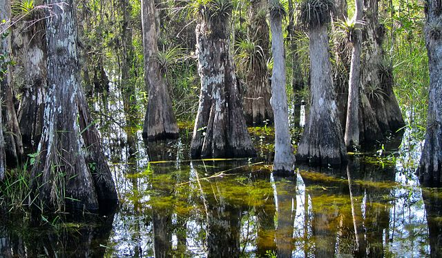 Peaceful view of everglades growing in a bayou.