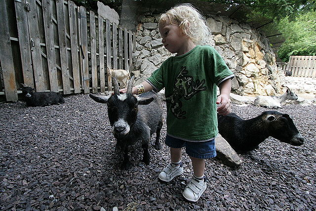 Cute view of child playing with goats at a petting zoo.