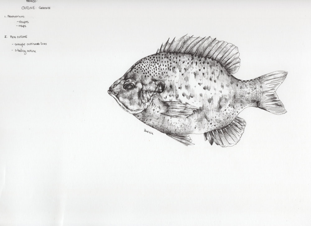 stage2bluegill.jpg