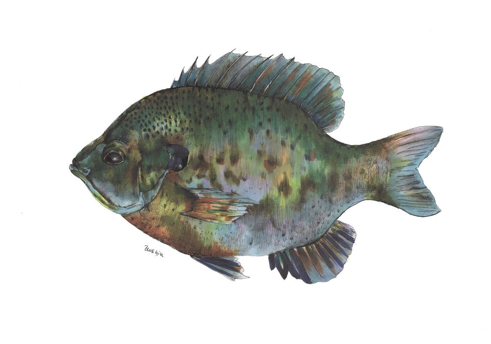 finishedbluegill.jpg