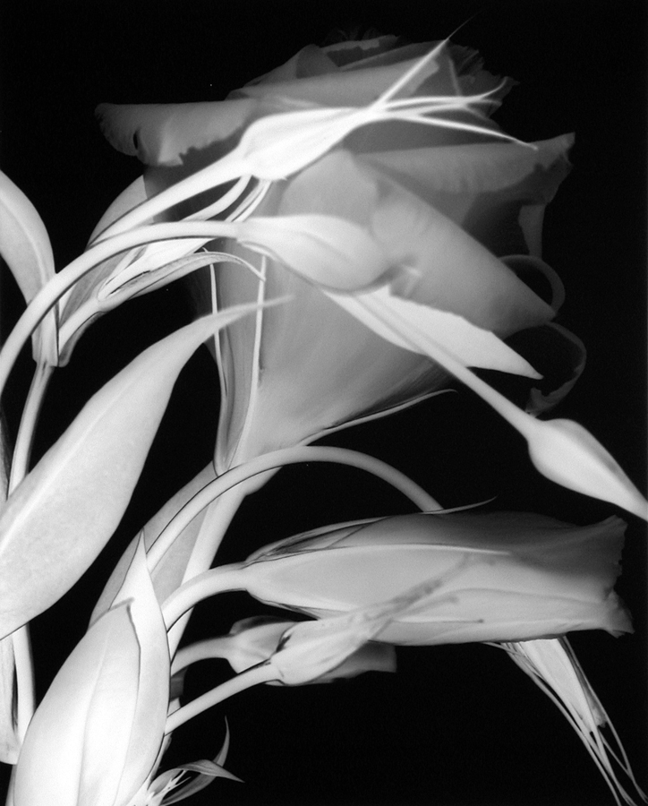 Lisianthus (Number 3), 2000