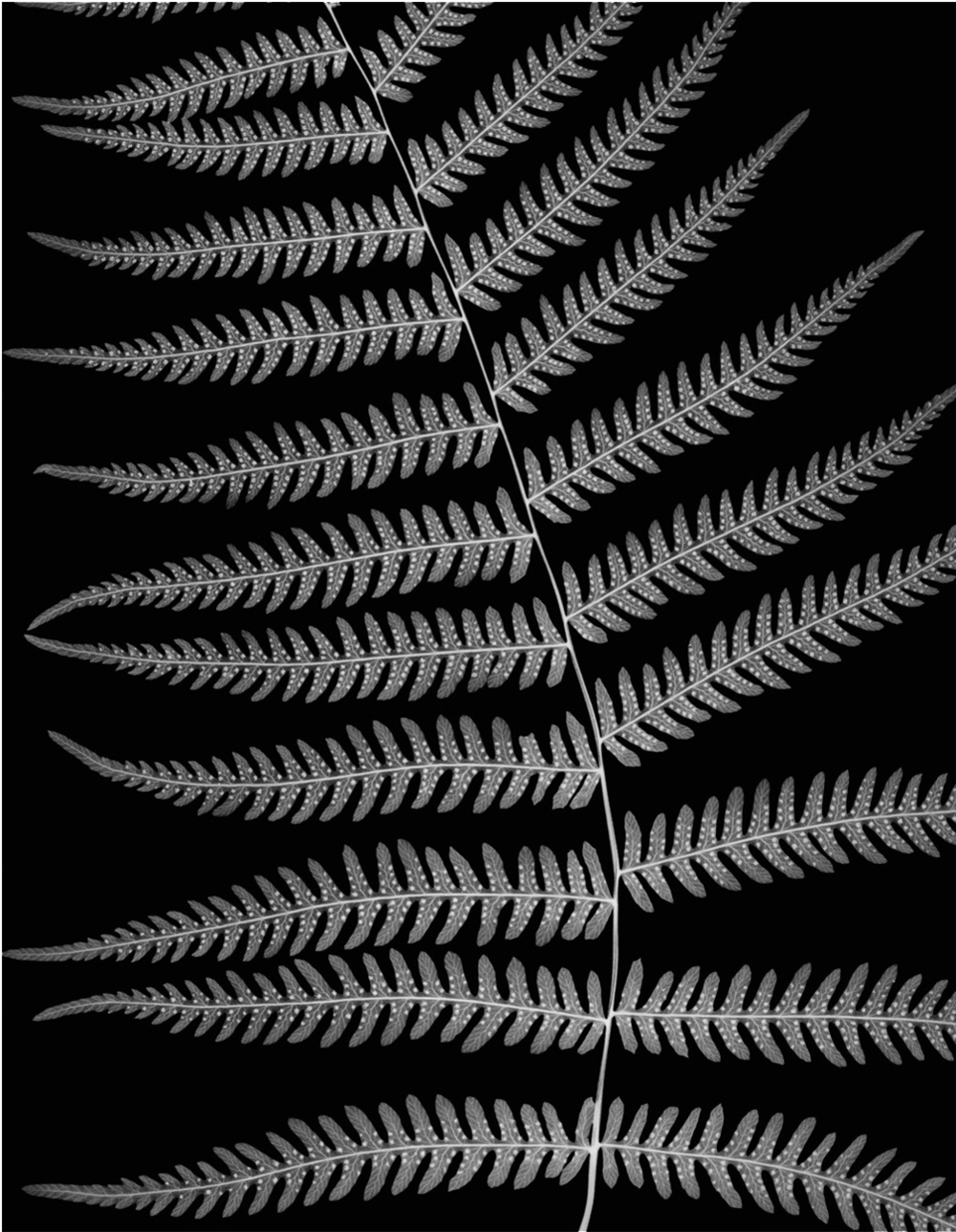 Northern Lady Fern, 2005
