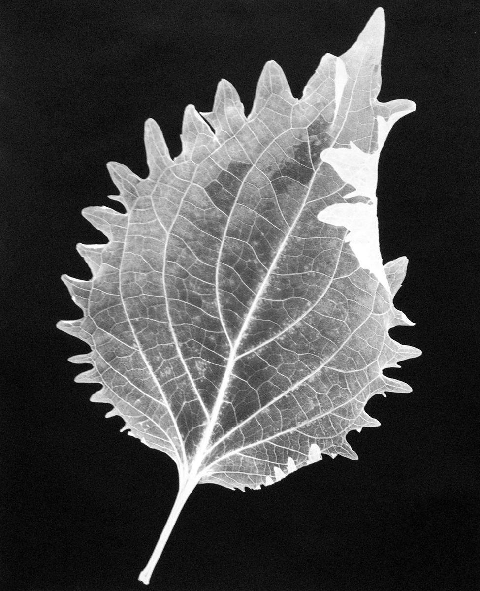 Leaf 32A, 2014
