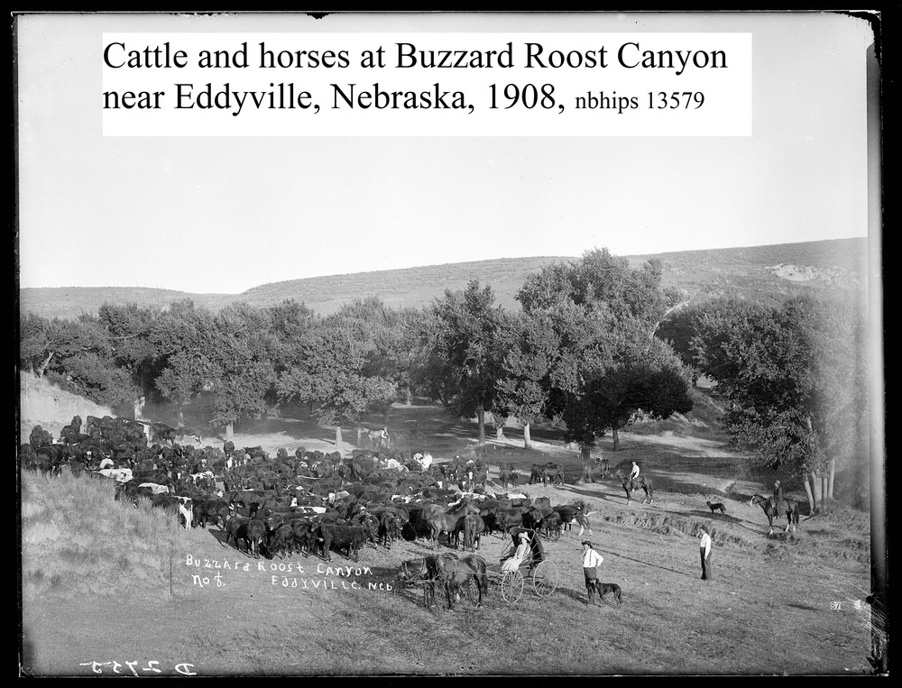 Butcher, Dawson County, Buzzard Roost cattle, Eddyville.jpg