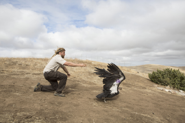 Joseph Brandt releases a condor at the Bitter Creek National Wildlife Refuge.