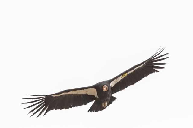 A condor soars over the Bitter Creek National Wildlife Refuge
