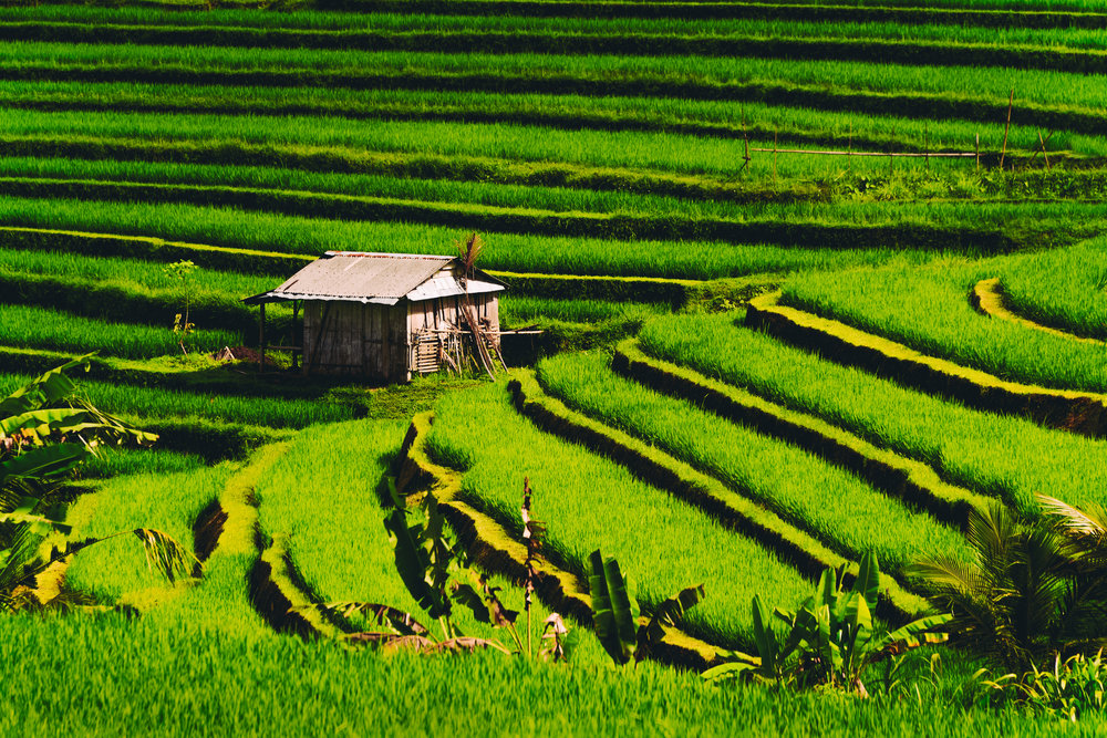 Bali_Rice Fields.jpg