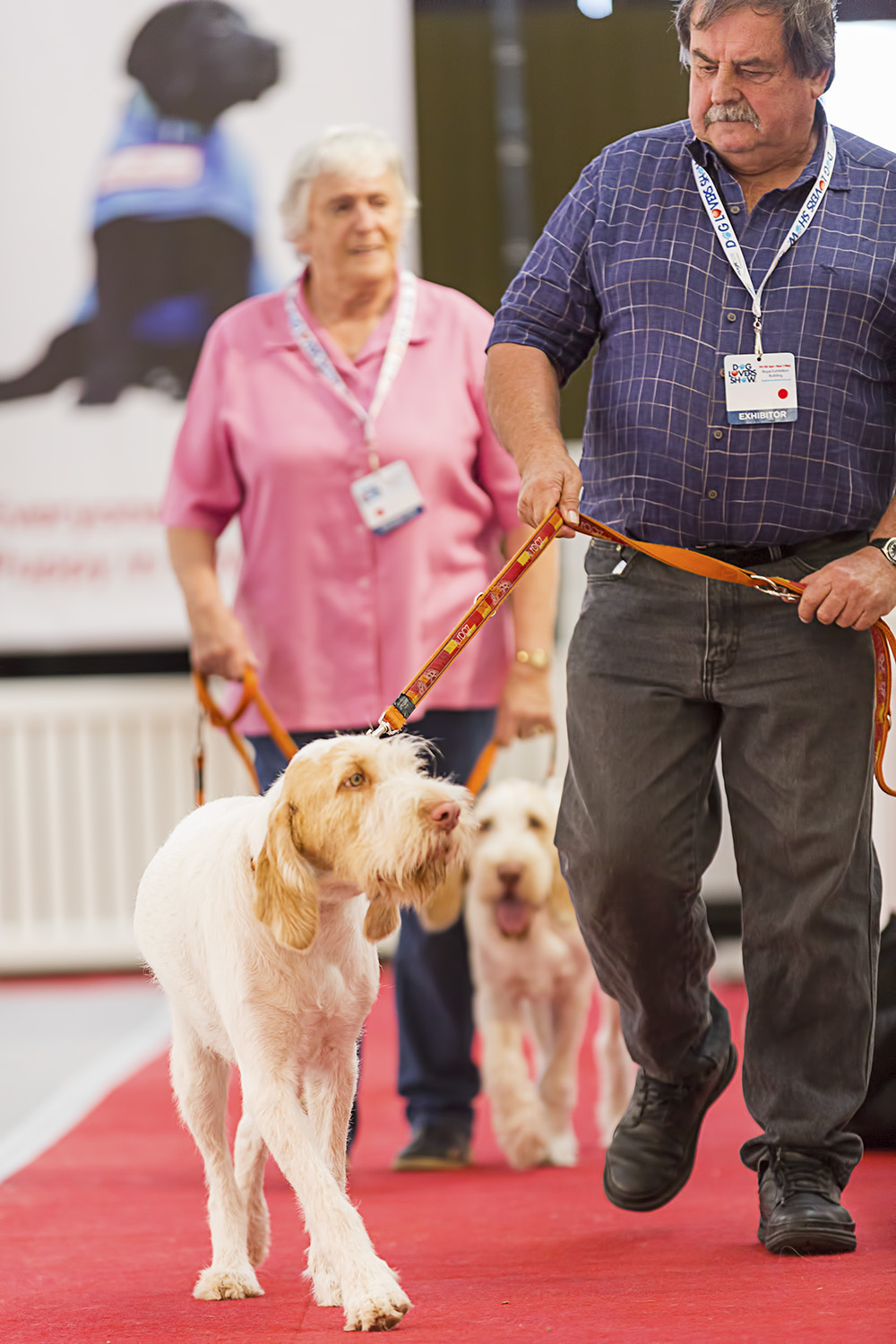 The Italian Spinone strutting his stuff at the dog show