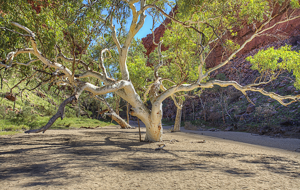 I love this tree! Simpsons Gap, Northern Territory