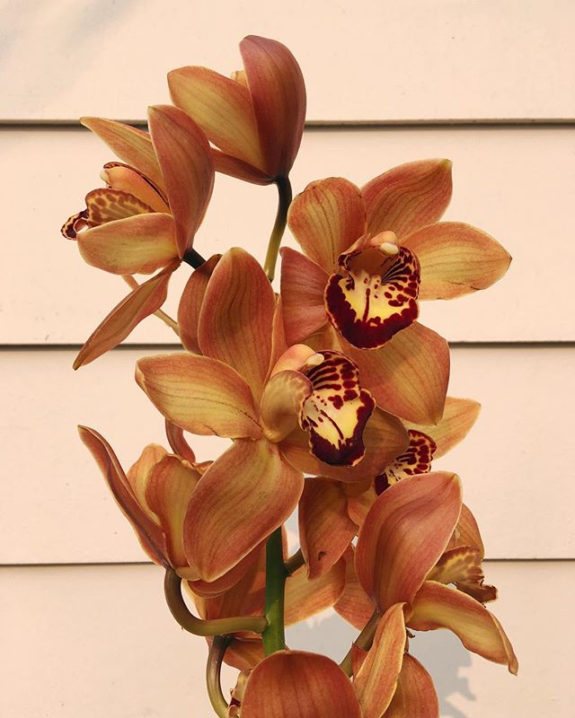 Autumnal cymbidium orchids on this smoky, hazy morning. Here all weekend, swing by for some fleurs and lung-soothing teas from @homesteadapothecary.