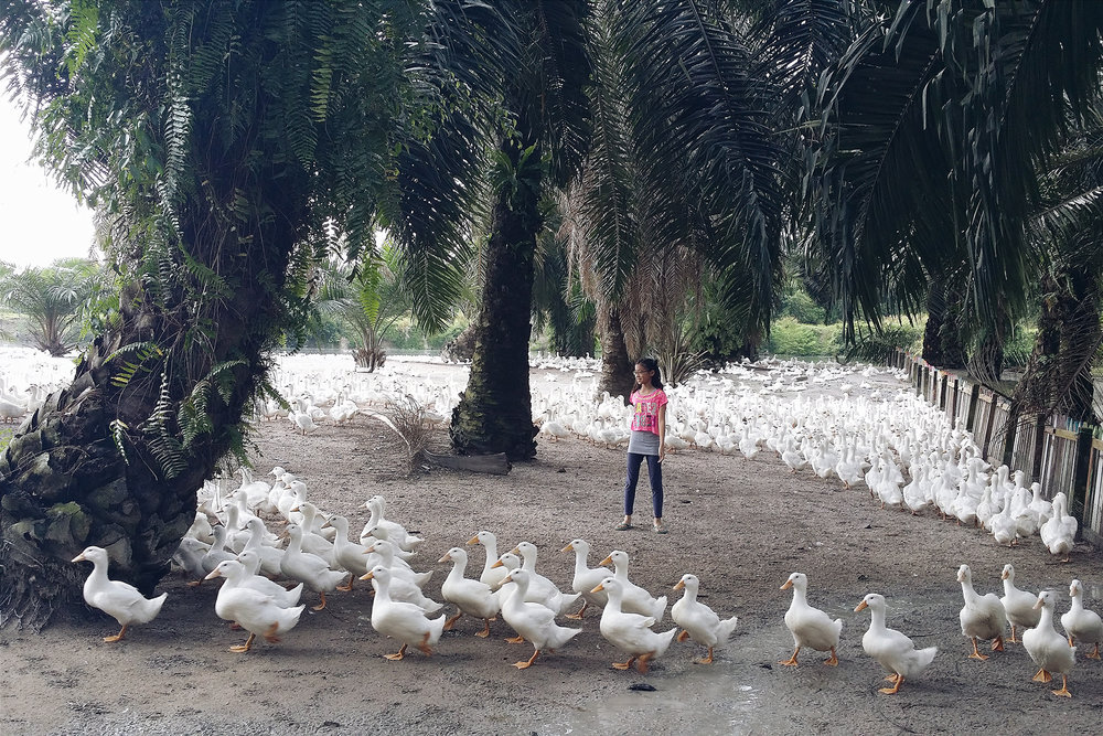 There are tens of thousands of ducks in total at the farm. Only part of it is open to visitors.