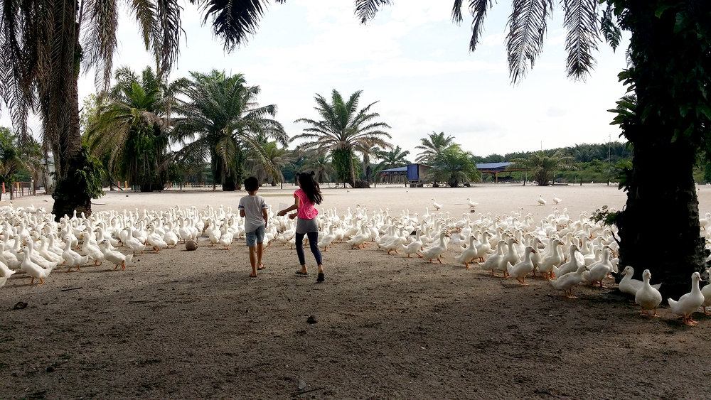 taiping-road-trip-chasing-ducks