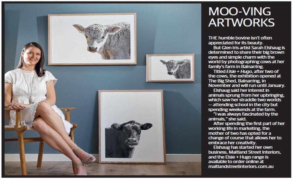 Maitland Street Interiors, Sarah Elshaug, Elsie + Hugo, Limited Edition Art, Cow Prints, The Stonnington Leader, Interior Stylist Melbourne
