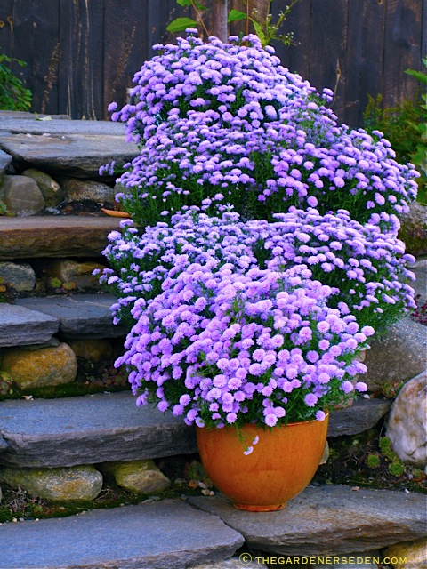 Asters in Pots.jpg