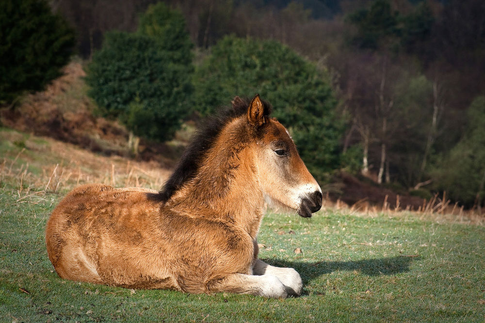 Young_pony_on_Quantock_Hills.jpg