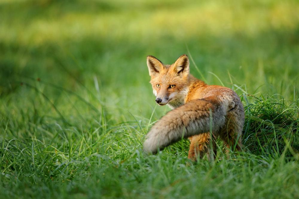 wild fox.jpg