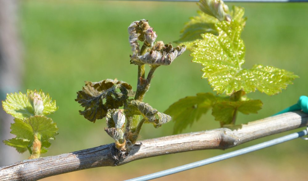 Grapevine frost damage.