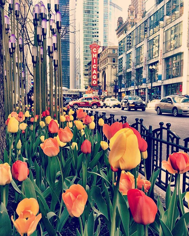 It's about time these f🌷ckers, I mean flowers showed up!  Spring has sprung 💐🌷🌸🌺 ••••••••••••••••••••••••••••••••••••••••••••••••• #spring #springtime #flowers #theLoop #ChicagoLoop #downtown #chicagogram #Chicagosign #visitChicago #tulips #iphoneonly
