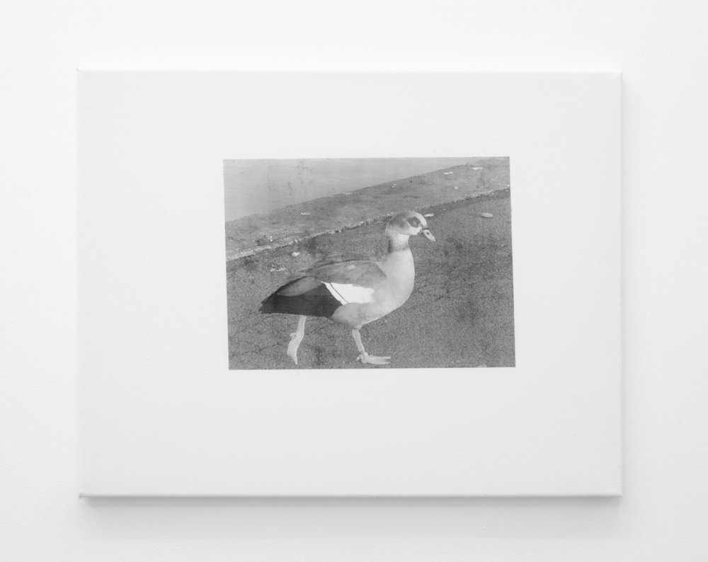 Duck 2 , 2016, Inkjet print mounted on canvas, 40 x 51cm.