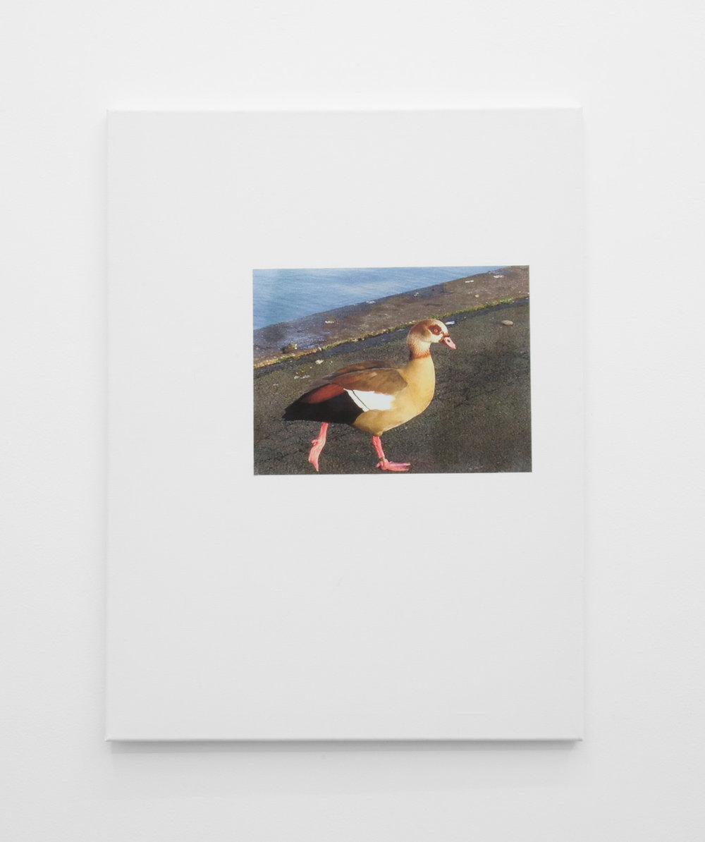 Duck, 2016, Inkjet print mounted on canvas, 61 x 46cm.