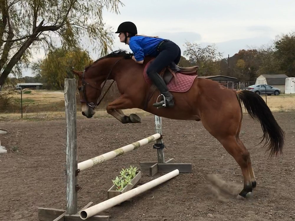 Boudreaux  - Beudreaux is a 6 year old AQHA registered gelding.  He rides English and Western and has been used in our lesson program.  He has a very easy going attitude and a super sweet personality.  His trot has plenty of suspension and he has a very cute jump. Video available!  $3500
