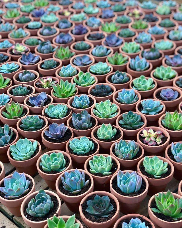 These little 🌈 babes need no filter . . . . #succulentfavors #longislandwedding #succulentarrangement #succulove #succulentsofinsta #plantbabies #greenthumb #plantdecor #botanicalwomen #weddingfavors #newhydeparkinn #weddingsucculents #weddingfavors #longislandweddings #rainbowsuccs #cactus #cactusclub #showerfavors #partyfavors