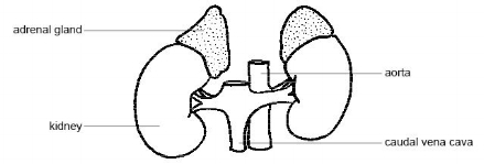 Anatomy_and_physiology_of_animals_Adrenal_glands.jpg