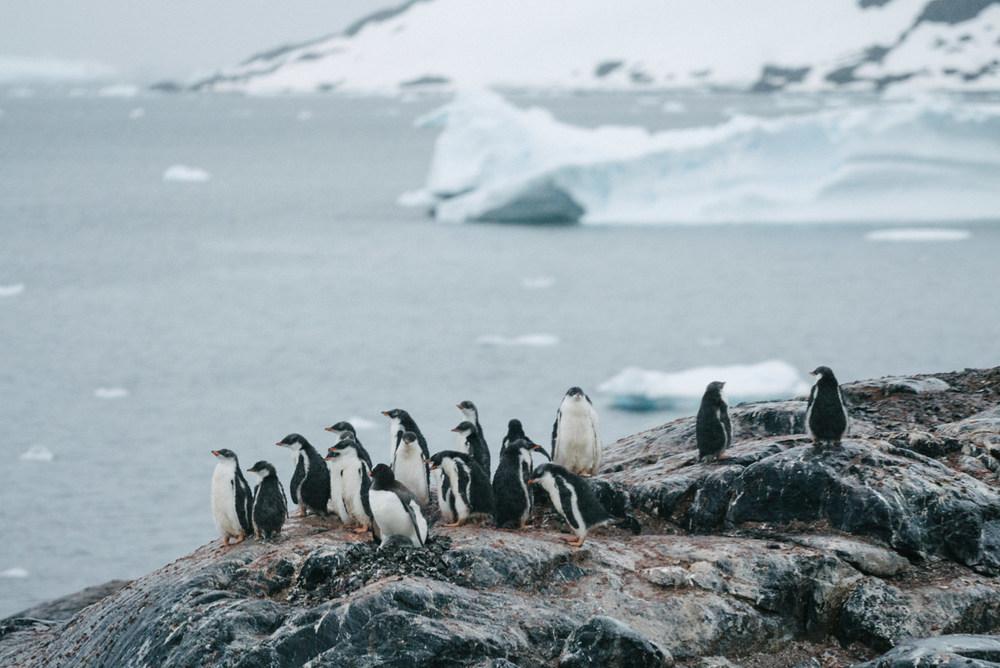wrenee-antarctica-pleneau-island-gentoo-penguins-4.jpg