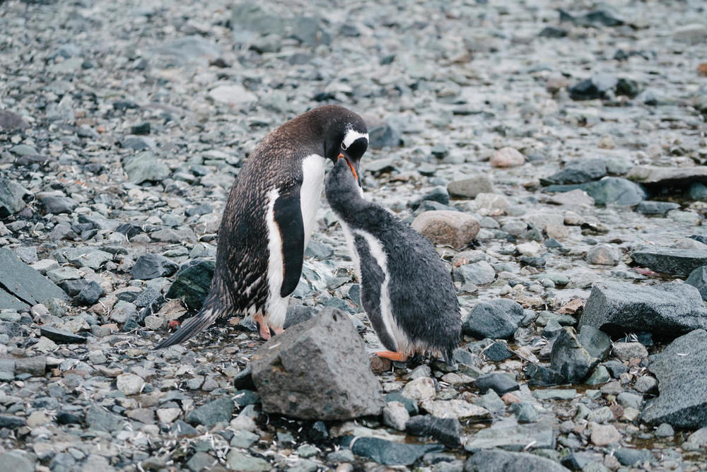 I watched this penguin chick chase its mother around for a solid 5 minutes, tripping over rocks, begging for food before she finally gave in and regurgitated him a snack