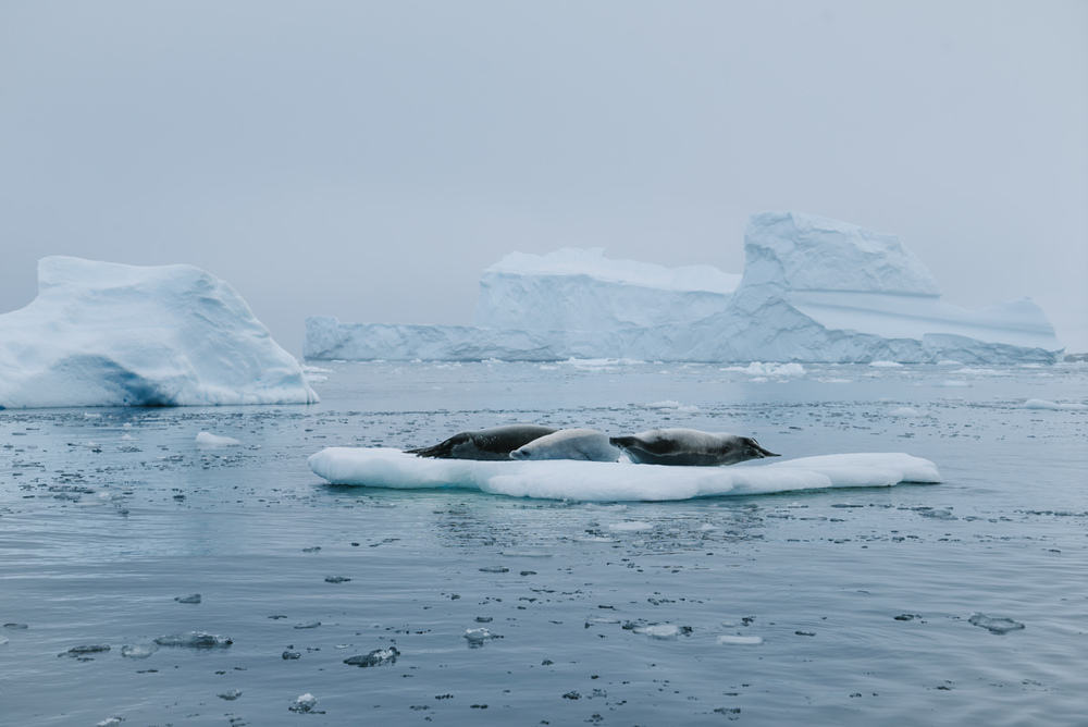 A group of crabeater seals (these seals are poorly named as they don't actually eat crab)