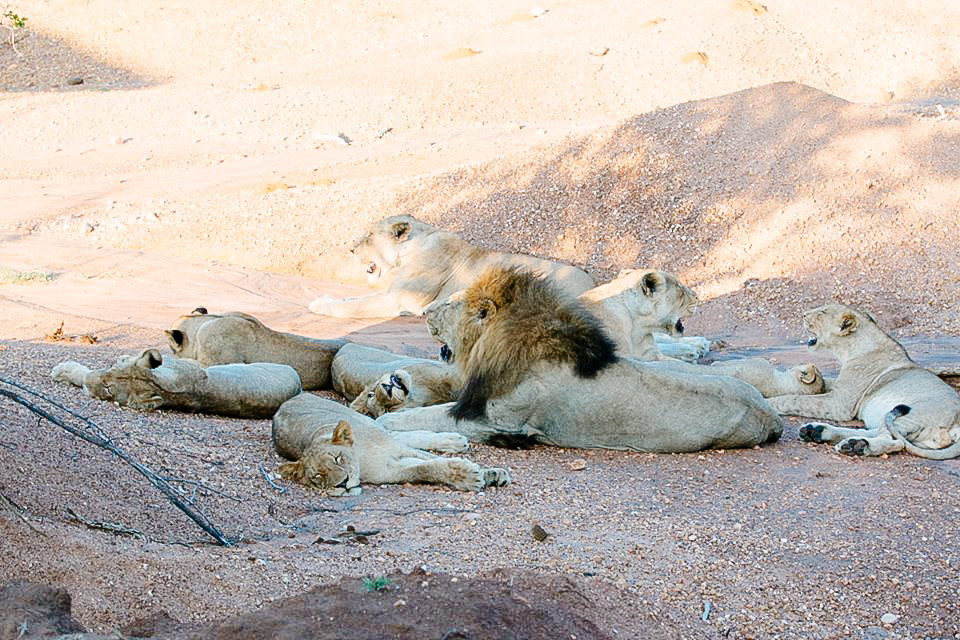 On one of our last drives we came across this entire pride of lions napping in a dry river bed. There were even more than fit in this shot… again they were too close!